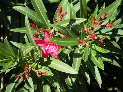 Pink Oleander picture