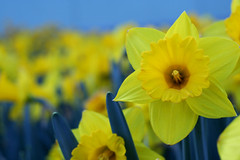 daffodils (ginnerobot) Tags: flowers yellow 50mm petals spring bokeh many sunny daffodil april growing friday daffodils