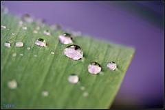 After Rain (LETHO 2706) Tags: water drops wasser waterdrops picnik afterrain wassertropfen tropfen wasserperlen waterpearls nachdemregen bysäne