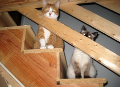 We See You! (Eridony) Tags: cats pets cat kitty whiskers kitties meow felines gizmo notmycat