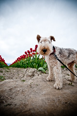 hugo at the tulip festival