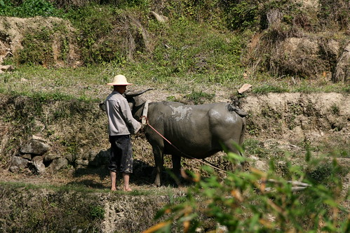 Water Buffalo (by niklausberger)