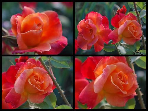 Stockton Roses