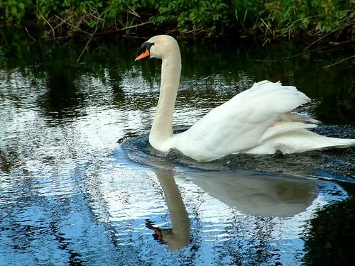 Swan double