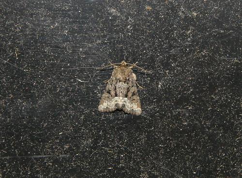 Marbled Minor (Oligia striglis)