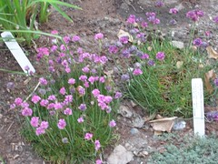IMG_5867 (jennifer_g_horn) Tags: plants may 2009 armeria lizchristy