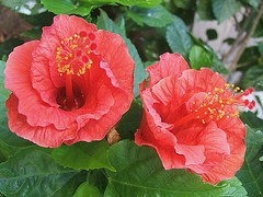 Red Hibiscus (TonyTrassi CatanBR) Tags: flower flor hibiscus fantasticflower httpwwwsdresslerdeflickr
