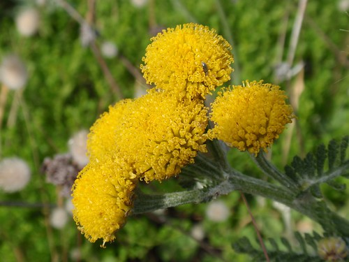 Dune Tansy 01