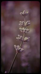 Colourful Sunday afternoon!-18 (andrew_brooks86) Tags: red flower leaf stem purple lavender petal raspberry stalk
