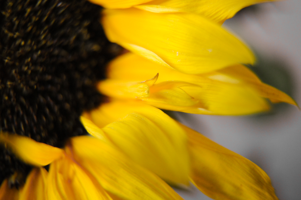 Sunflower (3) - HBW