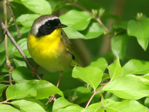 Common Yellowthroat 20100427