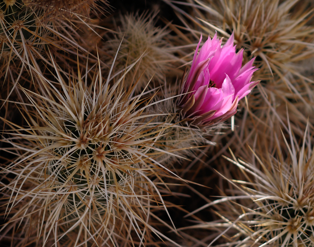 Cholla garden, Joshua Tree National Park