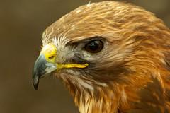 Pose2 (saxman1597) Tags: portrait england nature beauty birds animals eyes nikon wildlife feathers birdsofprey estremità mygearandme birdsofprey2