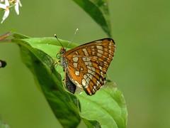 Scarce Fritillary (Ron JM Berkhout) Tags: germany butterflies scarce sachsenanhalt scarcefritillary hypodryasmaturna euphydryasmaturna roodbonteparelmoervlinder