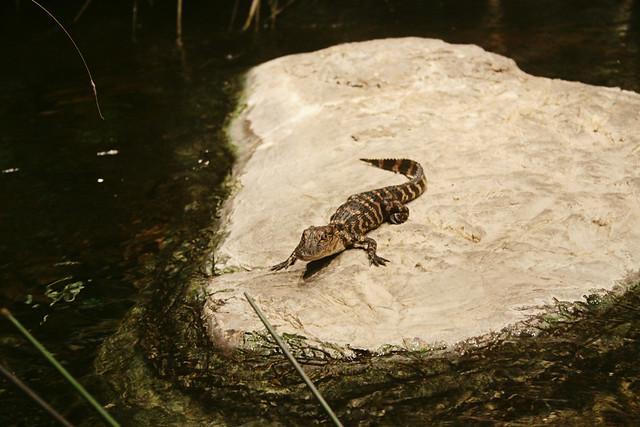 MODS gator