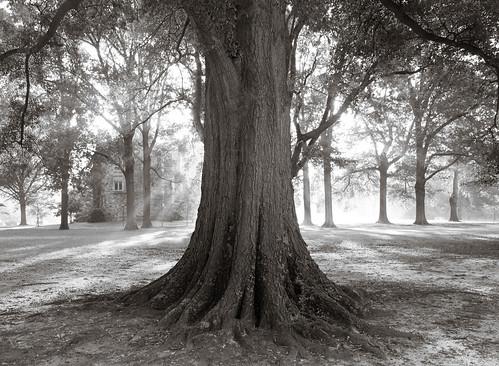 Rhodes Tree