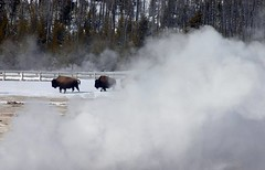 Bison In The Mist (iansand) Tags: winter usa mist fog geotagged steam yellowstone snowmobile iansand wyomingjacksonhole usa2009 taxonomy:binomial=bisonbison taxonomy:common=bison geo:lat=44481871 geo:lon=110852952