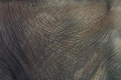 Elefante... (William Kitzinger) Tags: brazil elephant brasil riodejaneiro zoo nikon skin hide creativecommons zoolgico d2h cbf sigma170500mm zoodorio cfrj williamkizinger
