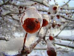 Macro icy crabapple