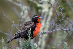 Sturnella loyca (macho adulto) (gastonCc) Tags: chile patagonia birds aves magallanes loica sturnellaloyca longtailedmeadowlark avesdechile