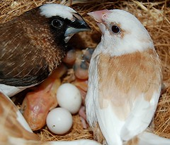 6 hatched and 2 to go! Good work Society Surrogates! (jungle mama) Tags: bird birdcage birds egg finch finches aviary hatch rainbowfinch surrogate breedingfinches gouldians ladygouldian societyfinch gouldianfinch erythruragouldiae chloebiagouldiae breedingbirds babyfinches gouldsfinch societyfinches impressionsexpressions aviaryoutsidemykitchenwindow breedinggouldians aviarywindow raisingfinches kitchenaviary raisinggouldians societyfinchesmating finchesmating babyfincheseyesclosed babyfincheswithpinfeathers finchwing biscayneparkflorida redpurpleyellowfinch birdsurrogates redpurpleandyellowgouldian societyfinchesassurrogateparents