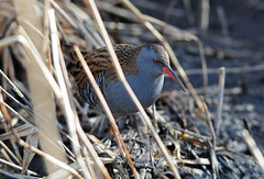 Water Rail (Rallus aquaticus) in Reedbed at RSPB Fairburn Ings, Yorkshire (Steve Greaves) Tags: winter bird nature reeds bill bokeh wildlife feathers reserve aves naturalhistory redeye backlit avian backlighting plumage reedbed greyhead rspb fairburnings waterrail redbeak rallusaquaticus littlebrownbird nikond300 europeanwaterrail nikonafsii400mmf28ifedlens greyunderparts