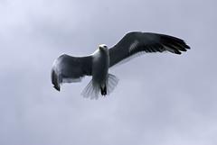 Reorientacin (Fede Salvo) Tags: patagonia bird libertad sony ave alfa sur alpha gaviota vuelo huechulafquen a300 junindelosandes ligereza paimun federicosalvo dslra300