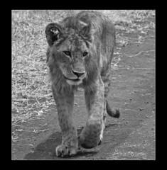 Lion in Ngorogoro, Tanzania (Dougie.C) Tags: world africa travel blackandwhite bw geotagged tanzania nationalpark map hunting lion safari geo bigcats ngorogoro atomicaward