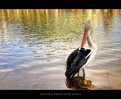 The Pelican (Revisited) :: HDR (Artie | Photography :: I'm a lazy boy :)) Tags: park reflection bird water photoshop canon river cs2 ripple kitlens australia pelican handheld adelaide 1855mm southaustralia efs hdr torrens xoxo artie rivertorrens 3xp torrensriver photomatix tonemapped tonemapping 400d rebelxti