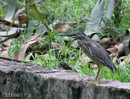Little Heron Juvenile