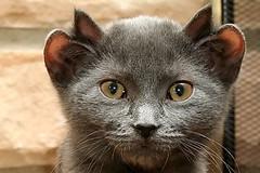 Cat with 4 Ears (terr-bo) Tags: pet cute animal cat yoda ears whiskers unusual 4ears