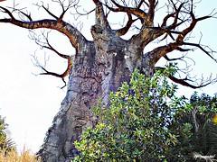 Baobá (seen in Kilimanjaro Safaris, Animal Kingdom) (taniapimentel) Tags: africa park parque vacation tree nature landscape natureza parks disneyworld viagem waltdisneyworld arvore tania animalkingdom pimentel viagemdeférias taniapimentel tpimentel