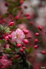 pink (* Yumi *) Tags: pink flower explore  naturesfinest yourfavorite 25faves abigfave platinumphoto goldstaraward vosplusbellesphotos