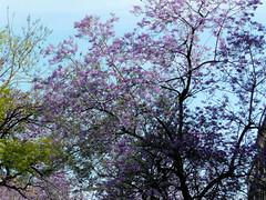 Jacaranda tree (bredac) Tags: tree lilac madeira funchal jacarandatree
