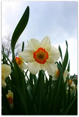 Daffodil (pixiesticks23♥) Tags: blue sky orange plants white flower macro green nature yellow garden easter virginia spring daffodil winner bloom blooms upclose 1stplace scottcounty agcg