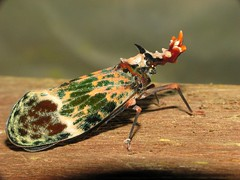 Phrictus diadema (Sean McCann (ibycter.com)) Tags: animals insects bugs pop hemiptera homoptera fulgoroidea fulgoridae taxonomy:family=fulgoridae taxonomy:binomial=phrictusdiadema