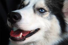 KJ: exhausted (Scott Kinmartin) Tags: dog husky canine siberianhusky kj americaneskimo huskimo