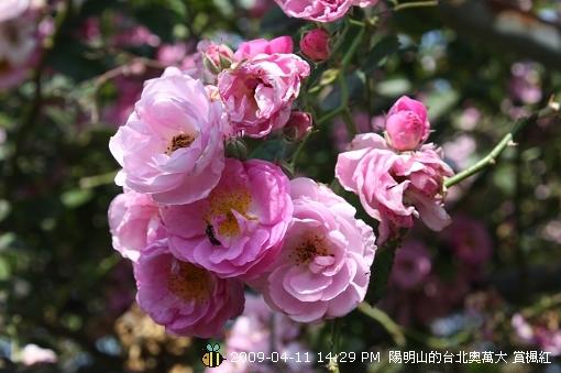 09.04.11 漂亮的爬藤薔薇@陽明山 (1)