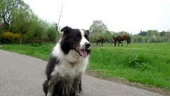 Kingsley with horses (kingzleyking) Tags: horses kingsley bordercollie eatinggrass
