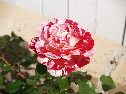 Rock and Roll Rose