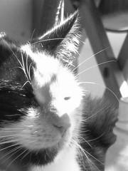 cat (Yohji_) Tags: cats cat chat gatto nero gatti priscilla micio gattonero baghera