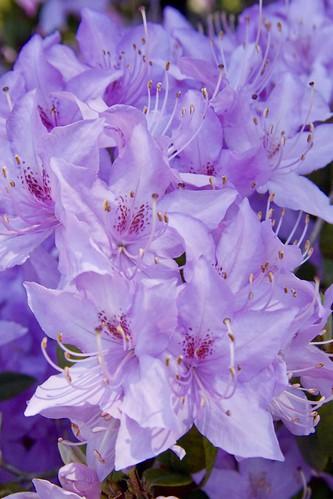 Crystal Springs Rhododendron Garden 024