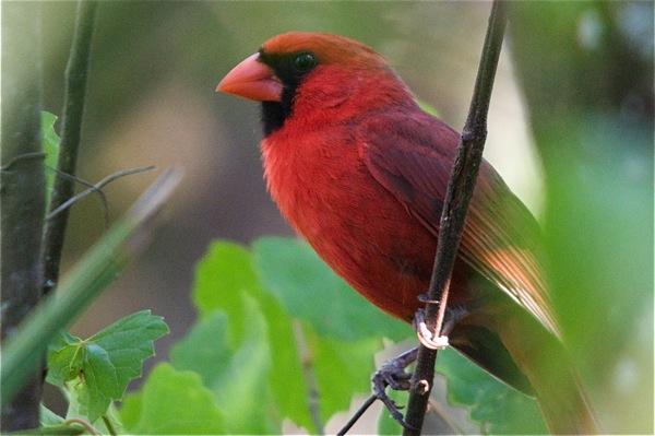 cardinal_0076