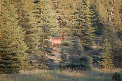 DSC_0501 (moulaert_) Tags: canada jasper elk icefieldsparkway