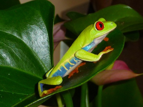 meet dotfrog, my mother's day present (red-eyed green tree frog) 130/365