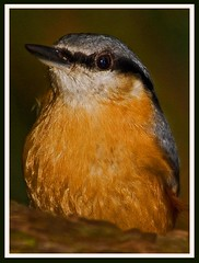 Nuthatch portrait. (anthonynixon17) Tags: coombeabbey vosplusbellesphotos nuthatchportrait