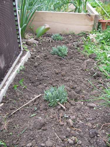 double dug bed, lavendar