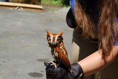Fully grown screech owl