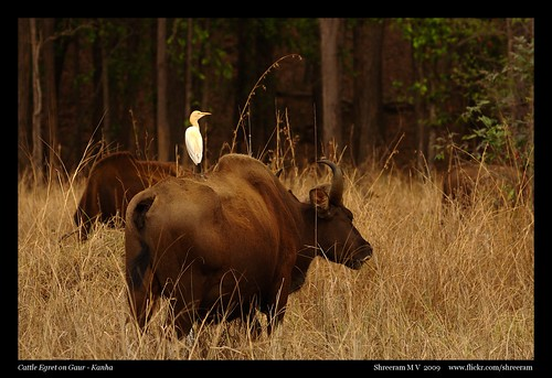 Free Ride - Cattle Egret on Gaur
