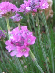 IMG_5870 (jennifer_g_horn) Tags: plants may 2009 armeria lizchristy